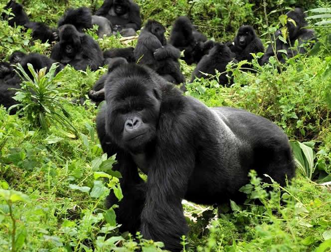 sa-gorillas-raanda